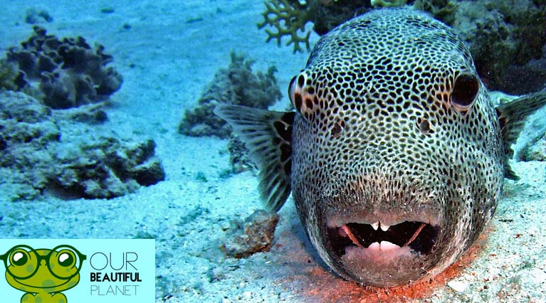 Puffer fish facts the ultimate puffer fish guide for Interesting facts about fish