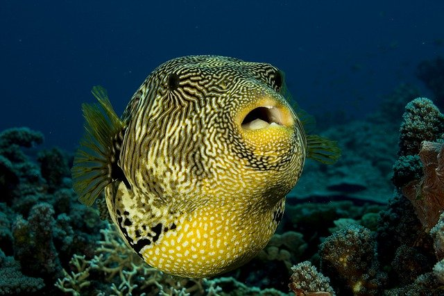 Puffer fish puffed up