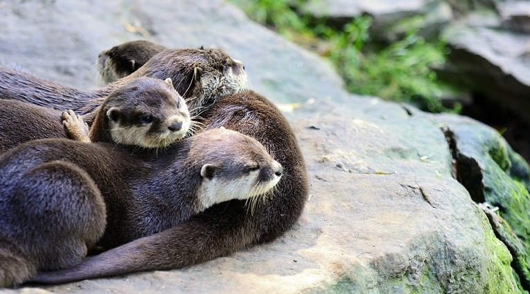 River Otters sleeping