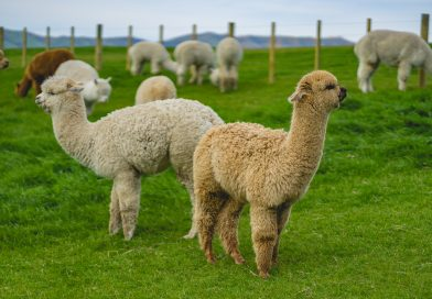 Can You Have An Alpaca As A Pet?